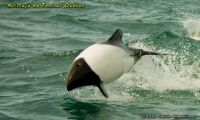 Commerson´s dolphin
