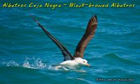 Black-browed Albatros