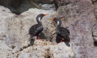 Red-legged Shag